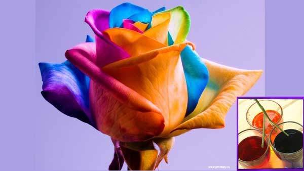 радужная роза своими руками