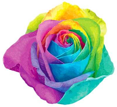 разноцветная роза
